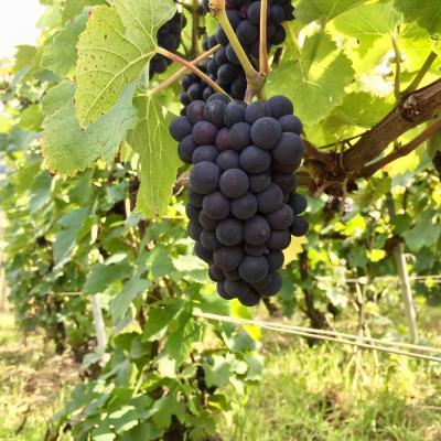 Pinot Noir DAMERY Vendanges 2017