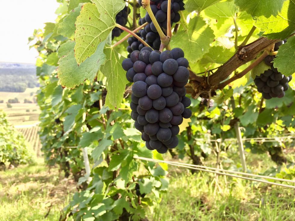 Pinot Noir de DAMERY quelques jours avant vendanges