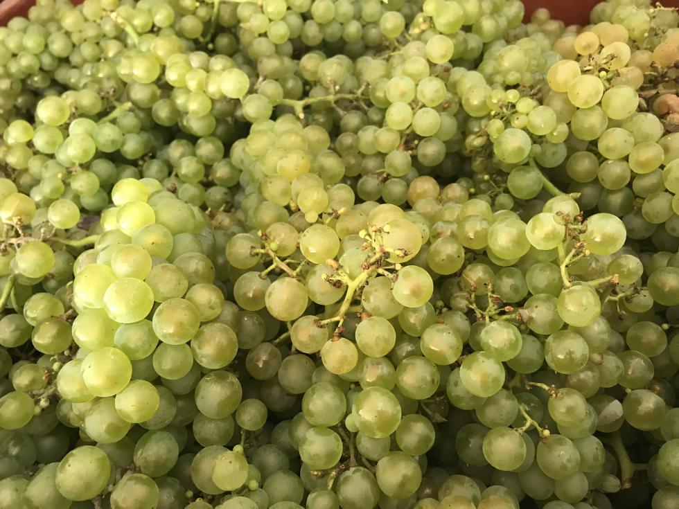 Vendanges Harvest 2019 Champagne Caillez Lemaire Chardonnay