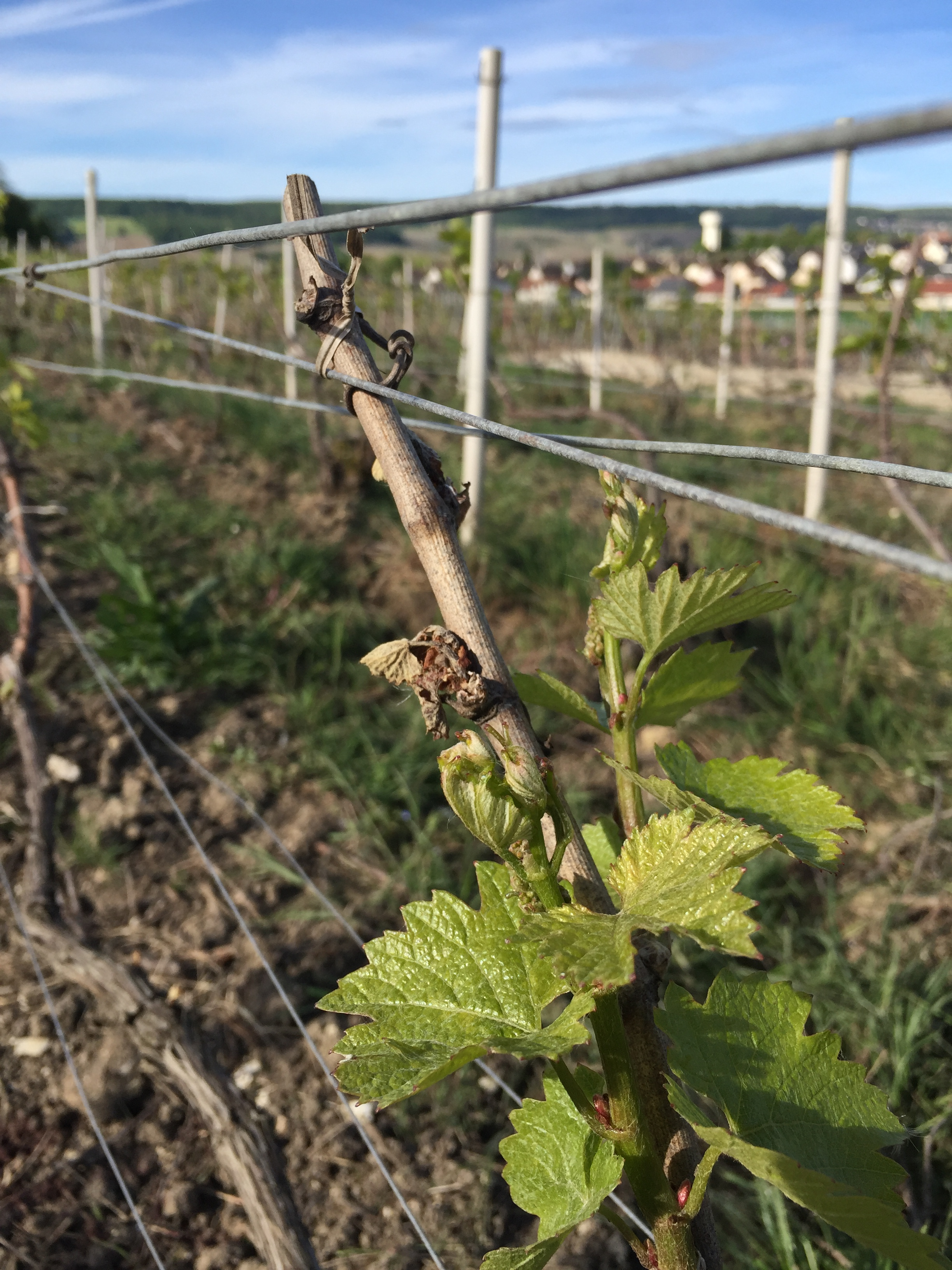Chardonnay, partly frozen, and behind : Damery