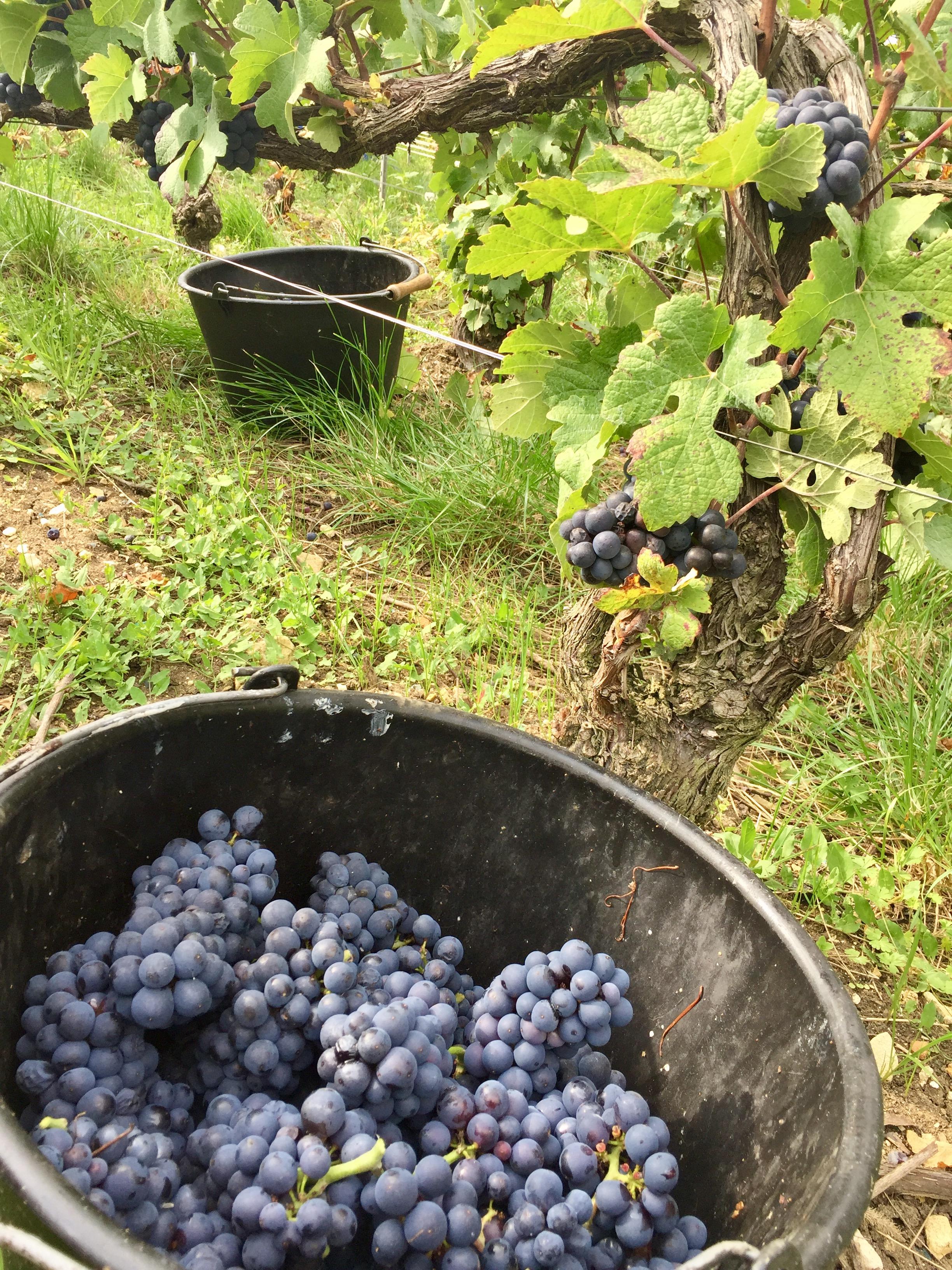 Pinot Noir, entre DAMERY et CUMIERES, vendanges 2017